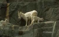1wm_goats_007